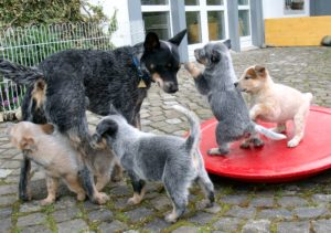 ACD_puppies