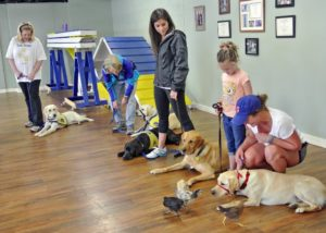 The CPT service dog program and the CCI Puppy Raiser Class includes conditioning drills to train the dogs to remain calm, composed, confident, and on-task regardless of the floor or ground substrate, vehicles, or objects present in the environment and regardless of whether the environment contains unfamiliar persons, dogs, cats, or wildlife- even chickens!