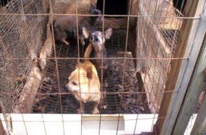 This filthy puppy mill is certainly the diametric of an ideal breeder facility.
