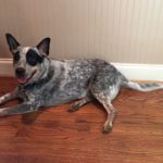 Australian Cattle Dog- Impulse Control