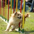 Is It True That Agility Training Has a Multitude of Benefits for Your Dog?