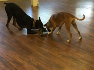 Canine play styles- Argus and Angie play tug.