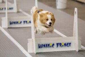 Karen Smalley: Bodhi racing to the Flyball box.
