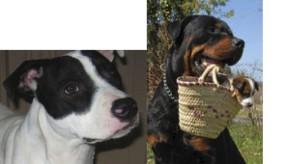 Breed Specific Legislation- Pit Bull-Rott