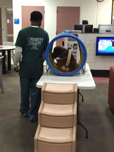 Clifford performing an out of sight down-stay while inside the mock MRI bore. Jaildogs.