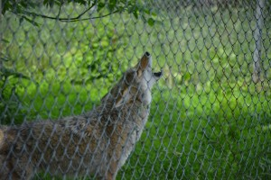 A coyote howling upon the call of Wolf Park Handler Pat Goodman.