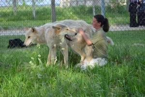 Dana Drenzek, Wolf Park's Manager, greeting two pack members.