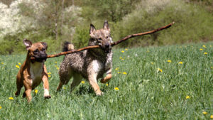 Canine play styles- fun play