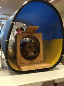 Sally performing an excellent down-stay within the mock MRI bore and head coil. Jaildogs.