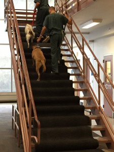 Initially, Cole was petrified of the stairwell and wouldn't venture near the MRI steps. To overcome his fear, we had to carpet the stairs to block openings and use Sally as a model. After two weeks of training he walked the stairs without the carpet or an accompanying dog. The desensitization training will improve Cole's opportunity for adoption. Jaildogs.