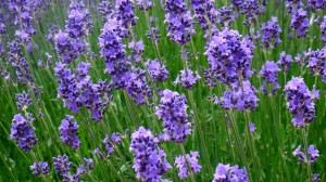 Research shows that lavender can be helpful in alleviating anxiety.