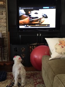Behavior Modification- Barking: Lili Learning Not to Bark at the TV