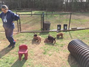 Evaluations- Carol Dean's puppy play yard includes numerous toys and obstacles for sensory stimulation and confidence building.