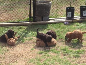 Evaluations- After evaluating each puppy individually- and possibly head-to-head if there are puppies that score equivalently, we observe the puppies in group. During the group observation we wish to evaluate energy level, play style, and intra-pack dynamics and dominance. For a service animal, we typically desire a dog that is stable, confident, and somewhere near the middle for pack dynamics. In contrast, for a performance obedience, agility, or schutzhund dog we usually prefer a stable, but more energetic and dominant pup. For a sedentary pet household or a household with young children or senior citizens, we usually prefer a lower energy dog that is less dominant, but not anxious or overly submissive.