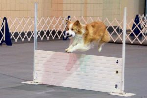 Karen Smalley: Bodhi performing the AKC Open Retrieve over the High Jump.