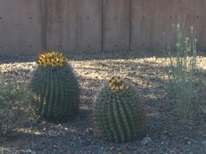 Phoenix, Arizona- Beautiful flowering in the garden of the Museum of Musical Instruments.