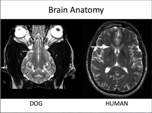 MRI comparison of dog and human brain- Journal