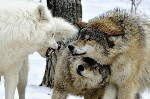 Wolf Showing Dominance