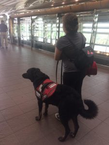 Hank accompanying the client in a public venue.<br /> With her psychiatric service dog alongside her she is better able to function in public settings, less concerned by crowds, suffers fewer panic episodes, and can more capably interrupt visual hallucinations. Source: photo submitted by client.